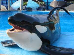 Tilikum la orca macho de Seawolrd