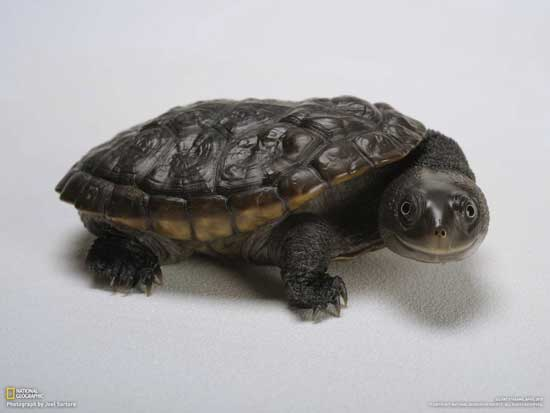 tortuga (chelodina reimanni)