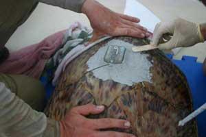 colocando un transmisor a una tortuga marina