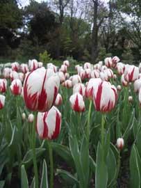 tulipanes, Real Jardín Botánico