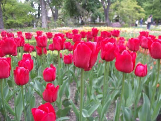 tulipanes rojos, Real Jardín Botánico Madrid