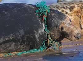 mamifero marino enredado