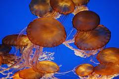enjampre de medusas