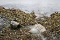 medusa en la playa