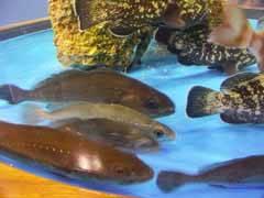 acuario con meros, corvinas y hurtas