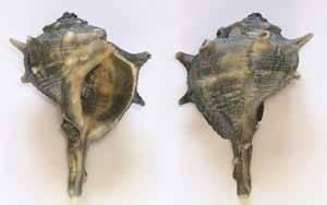 caragol punxent (murex brandaris)