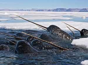 Narvales nadando entre los hielos