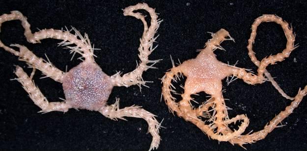 nueva especie marina de ophiacantha brittlestar