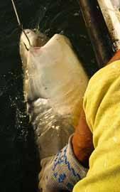 Tiburón pescado al palangre