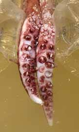 patas rotatorias del calamar gigante y sus ganchos