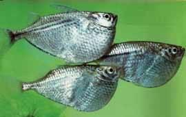 pez hacha (gasteropelecus-sternicla)