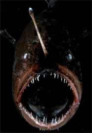 un pez de las profundidades