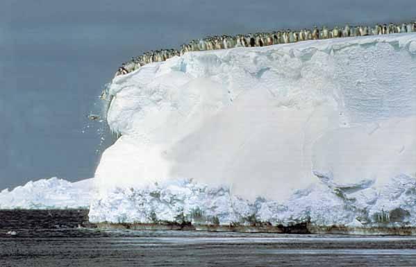 pingüinos emperador saltan hacia el mar