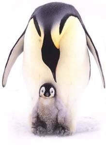 pingüino emperador y su polluelo