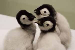 polluelos de pingüinos emperador