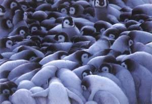 pingüinos emperador, arrebujados contra el frío