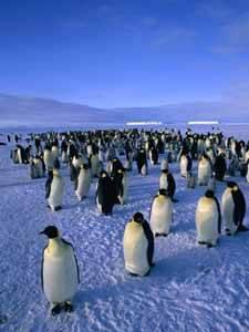 pingüino emperador, migración en procesión