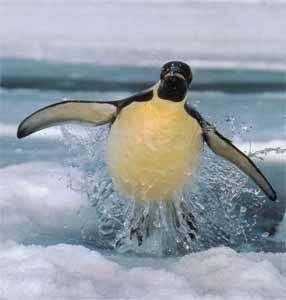 pingüino emperador, saltando al salir del agua