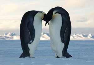 pingüinos emperador, ritual nupcial