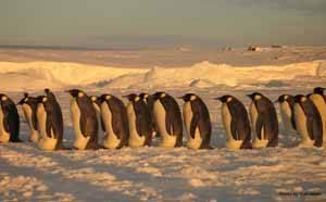 pingüinos emperador durante su viaje