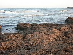 posidonia en la playa