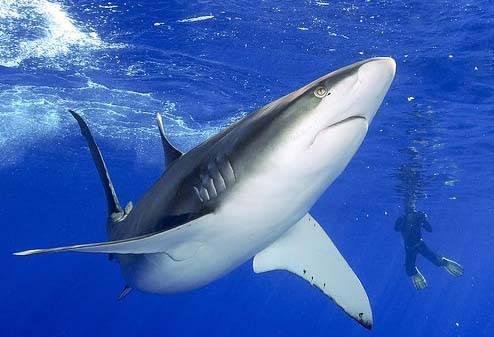 shark (tiburón)
