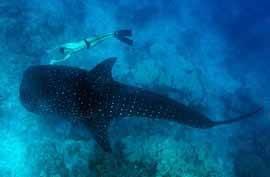 Tiburon ballena y buceador
