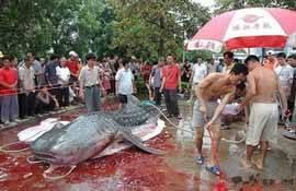Tiburón ballena cazado