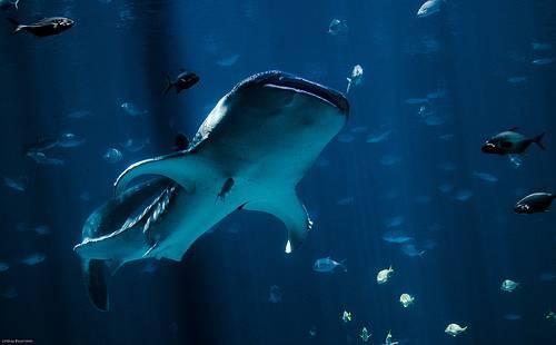 Tiburón ballena en acuario de Georgia