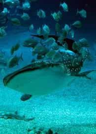 Tiburón ballena ¿jugando con peces