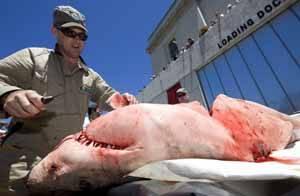 Tiburón blanco, autopsia Auckland