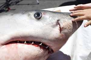 Cabeza de tiburon blanco, autopsia Auckland