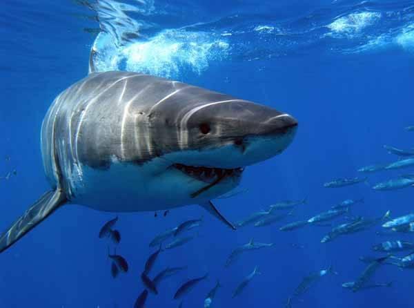 Tiburón blanco (carcharodon carcharias)