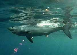 Tiburón cailón