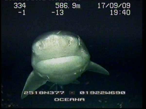 El tiburón cañabota