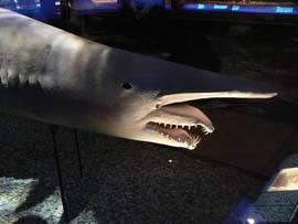 Tiburon duende o Tengu