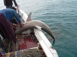 pesca de Tiburón ilegal al palangre