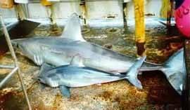 Tiburones Cailón