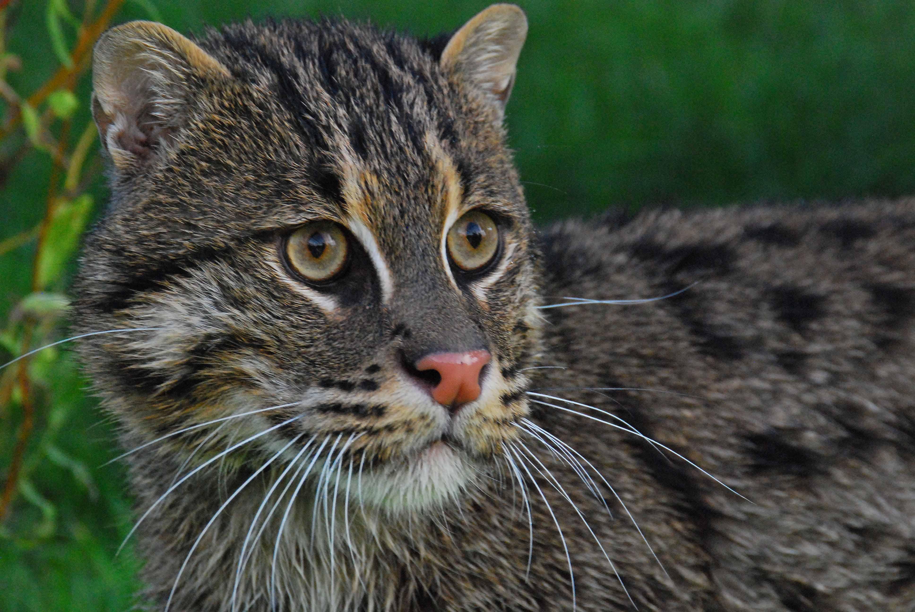 Granjas de langostinos de tailandia amenazan a raros gatos for Fish video for cats