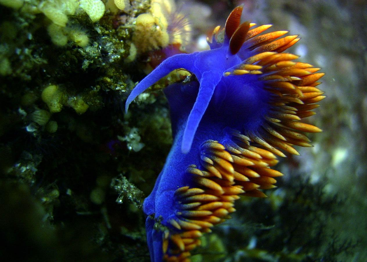 https://www.vistaalmar.es/images/ampliadas/nudibranquio-flabellina-iodinea-g.jpg