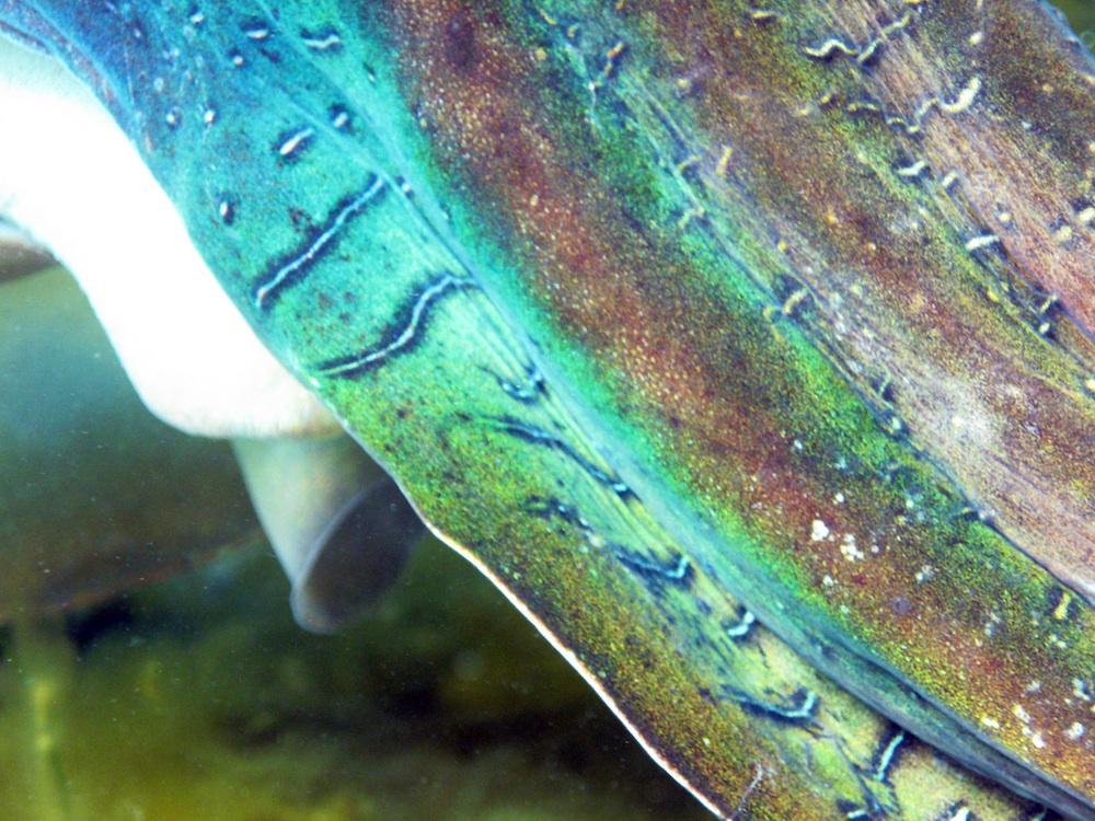 tentculos cambiantes de color de la sepia