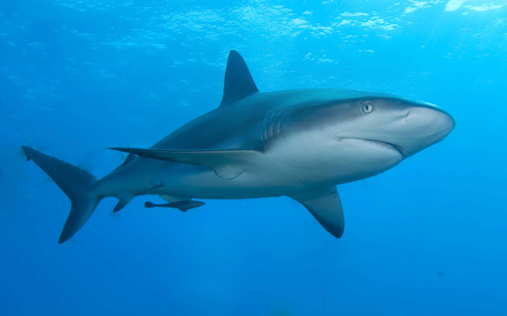 imagen de un tiburon: