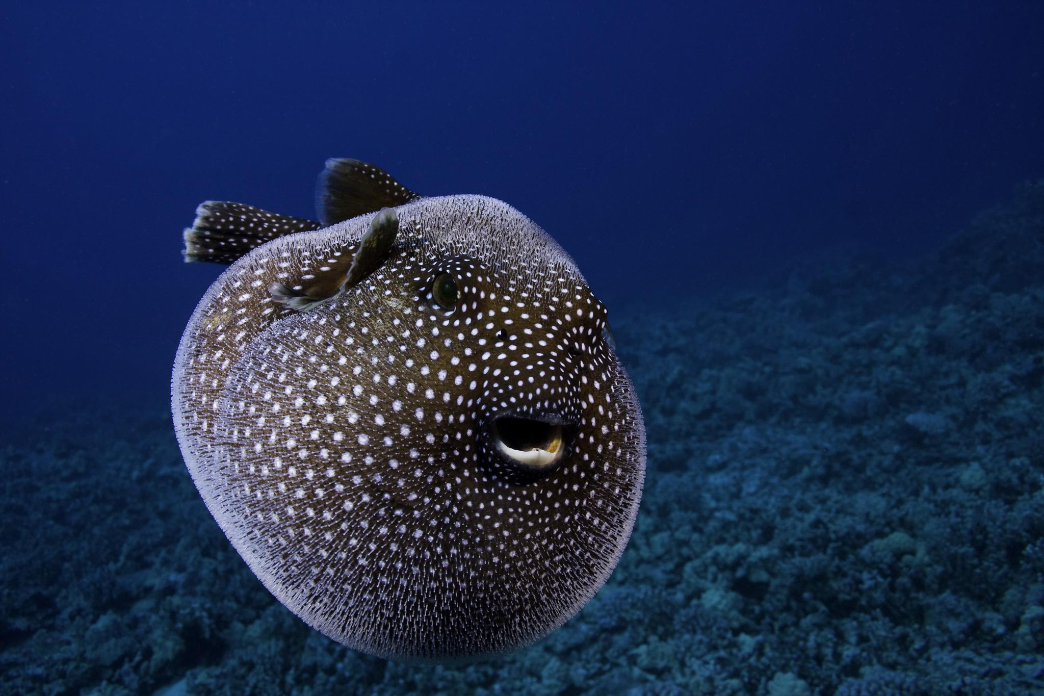 Qu es un pez globo explicando al animal de los c rculos for Types of puffer fish