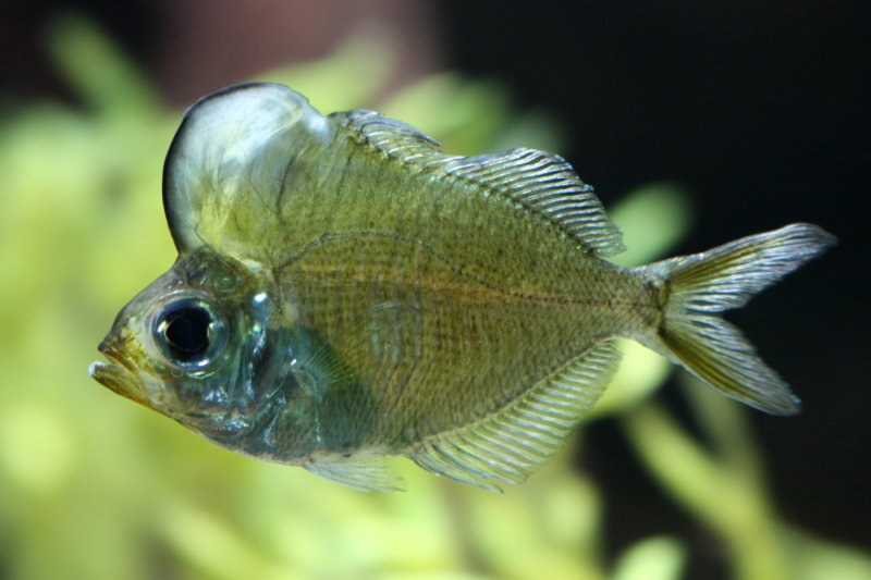 La peculiar joroba del pez napole n de cristal vista al for Pez cuchillo cristal