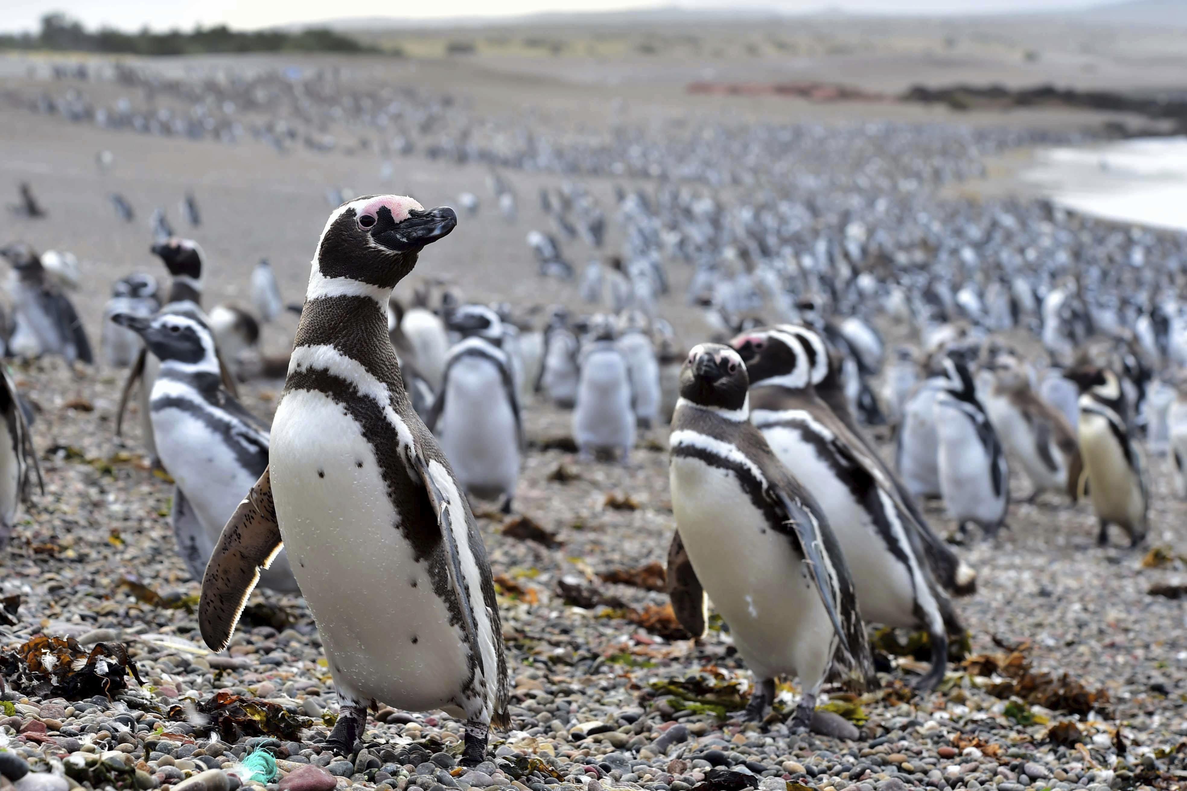 Resultado de imagen de pinguinos magallanes punta tombo
