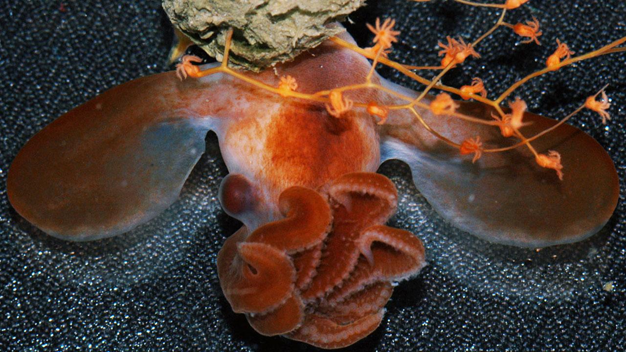 Raro hallazgo del mar profundo: Las crías del misterioso pulpo Dumbo ...