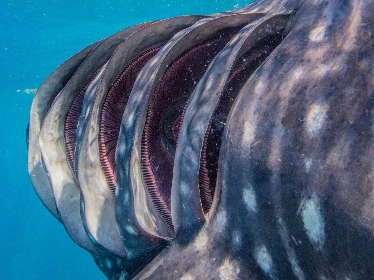 Foto submarina de branquias de tiburón ballena muestra la increíble ...