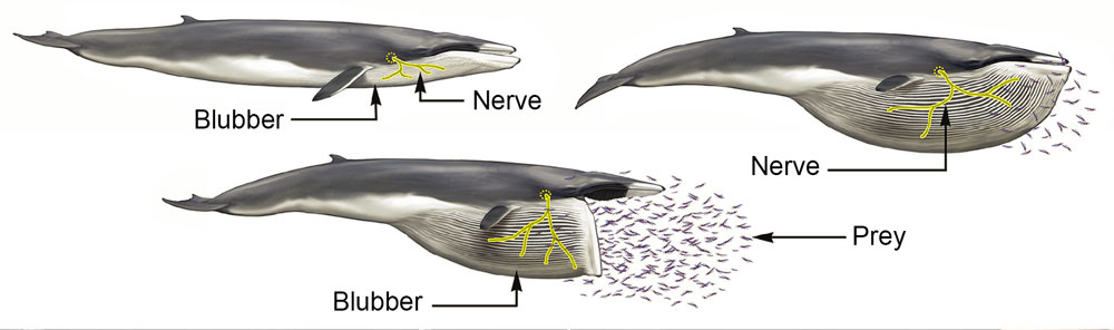 Las ballenas tienen en su boca nervios extremadamente elásticos ...