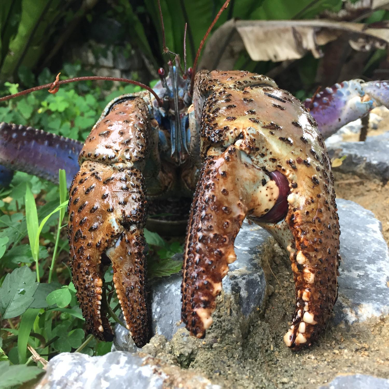 Las garras del cangrejo del coco pellizcan con más fuerza que ...