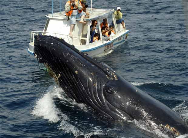 La ballena azul: el animal más grande de la tierra